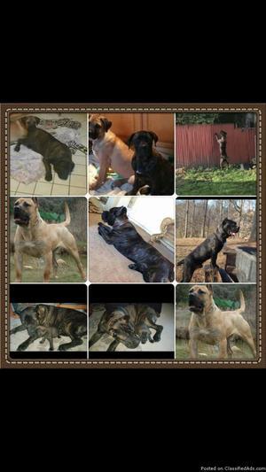 cane corso puppys