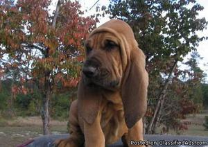 Gorgeous Bloodhound Puppies for sale