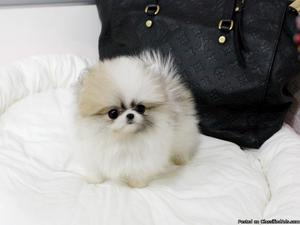 Lovely teacup Pomeranian puppies now ready