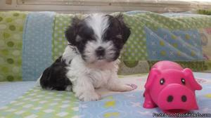 Male Shih tzu pup for sale
