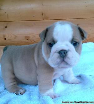 English Bulldog Puppies For Nice Home.