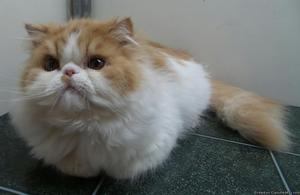 Red/white male Persian for sale