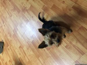 Yorkie for sale.