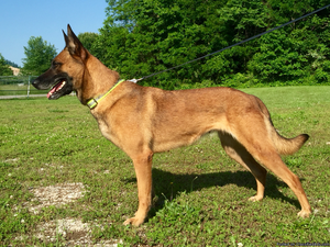 Free to only the best home Belgian malinois female