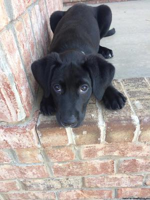 1 year old Black Lab Mix for Sale