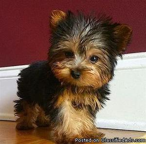 AKC Yorkie Puppies male and female available