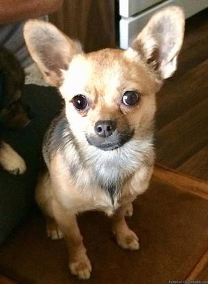 Female Chihuahua/Pomeranian Mix Looking For A Good Home