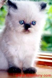 Himalayan, Persian, Chinchilla Kittens for Sale.