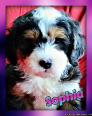 Sophia: Female Mini Bernedoodle