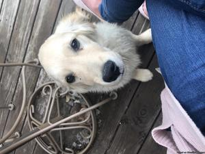 Lost golden retriever puppy