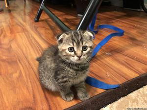Cute Scottish Fold kittens for sale