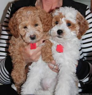 Goldendoodle puppies looking to find homes