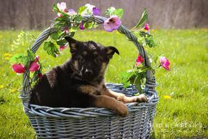 Jewel: Female German Shepherd