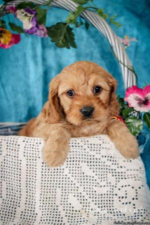 Kyle: Male Cavapoo
