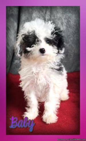 Baby: Female Mini Poodle