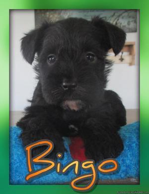 Bingo: Male AKC Mini Schnauzer