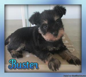 Buster: Male AKC Mini Schnauzer