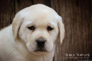 Charlie: Male Labrador Retriever