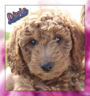 Dixie: Female Mini Goldendoodle