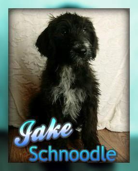 Jake: Male Schnoodle
