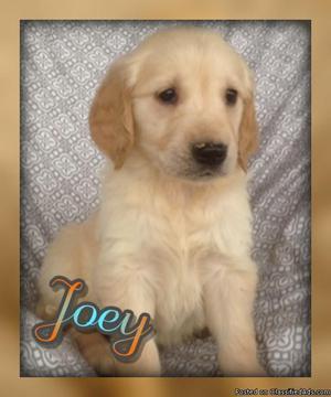 Joey: Male AKC Golden Retriever
