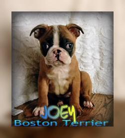 Joey Male Boston Terrier