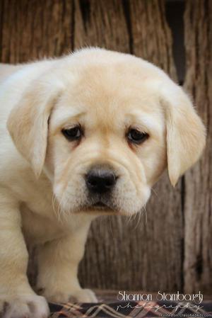 Katie: Female Labrador Retriever