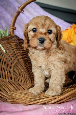 Kimberly Female Cavapoo