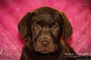 Maci: Female AKC Labrador Retriever