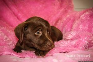 Margret: Female AKC Labrador Retriever