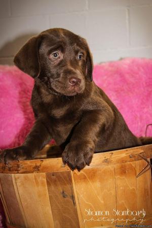 Mary: Female AKC Labrador Retriever