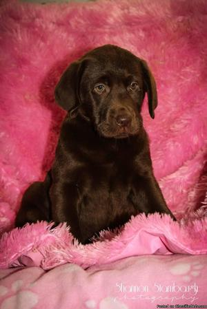 Mika: Female AKC Labrador Retriever