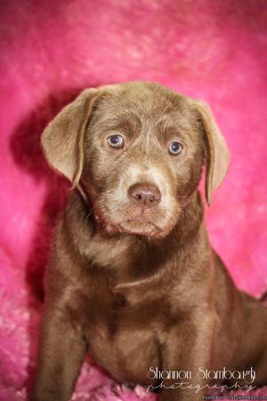 Missy: Female AKC Labrador Retriever
