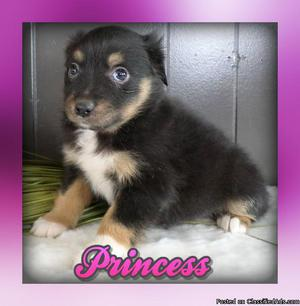 Princess: Female Australian Shepherd
