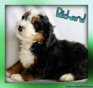 Richard: Male Mini Bernedoodle