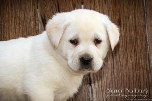 Roger: Male Labrador Retriever