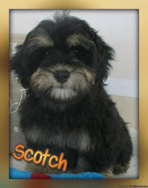 Scotch: Male Mini Schnoodle