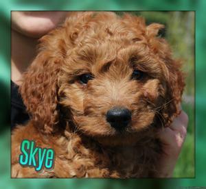 Skye: Female Mini Goldendoodle