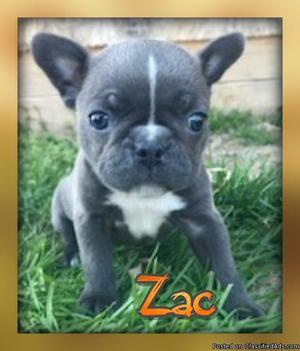 Zac: Male Frenchton