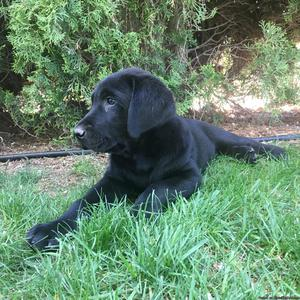 AKC registered black labrador