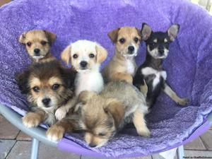 Adorable Chihuahua/mix puppies