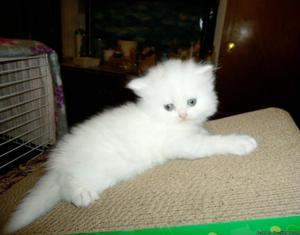 Beautiful Baby Persian Kittens Ready To Go