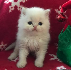 Gorgeous Himalayan Lynx kittens! ❤️Blue Point, Flame