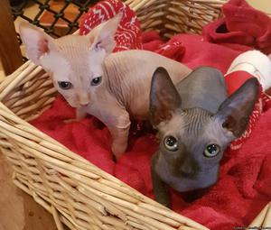 Blue CFA Registered Xmas Sphynx