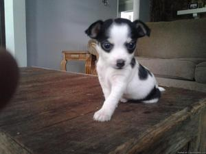 Jack Russell and Chihuahua Puppies
