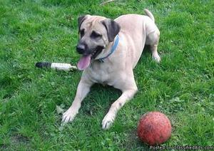 3 year old Mastiff/lab mix Male 3 Year Old Australian