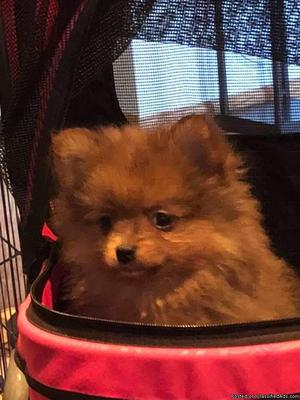 CKC RED SABLE MALE POMERANIAN PUPPY