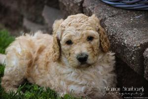 Jake: Male AKC Standard Poodle