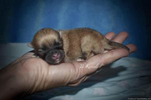 Tiny Toy Orange Sable Pomeranian (Todd)