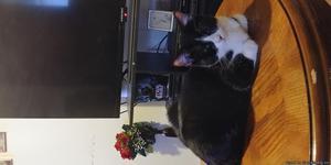 1 yr old female spayed cat